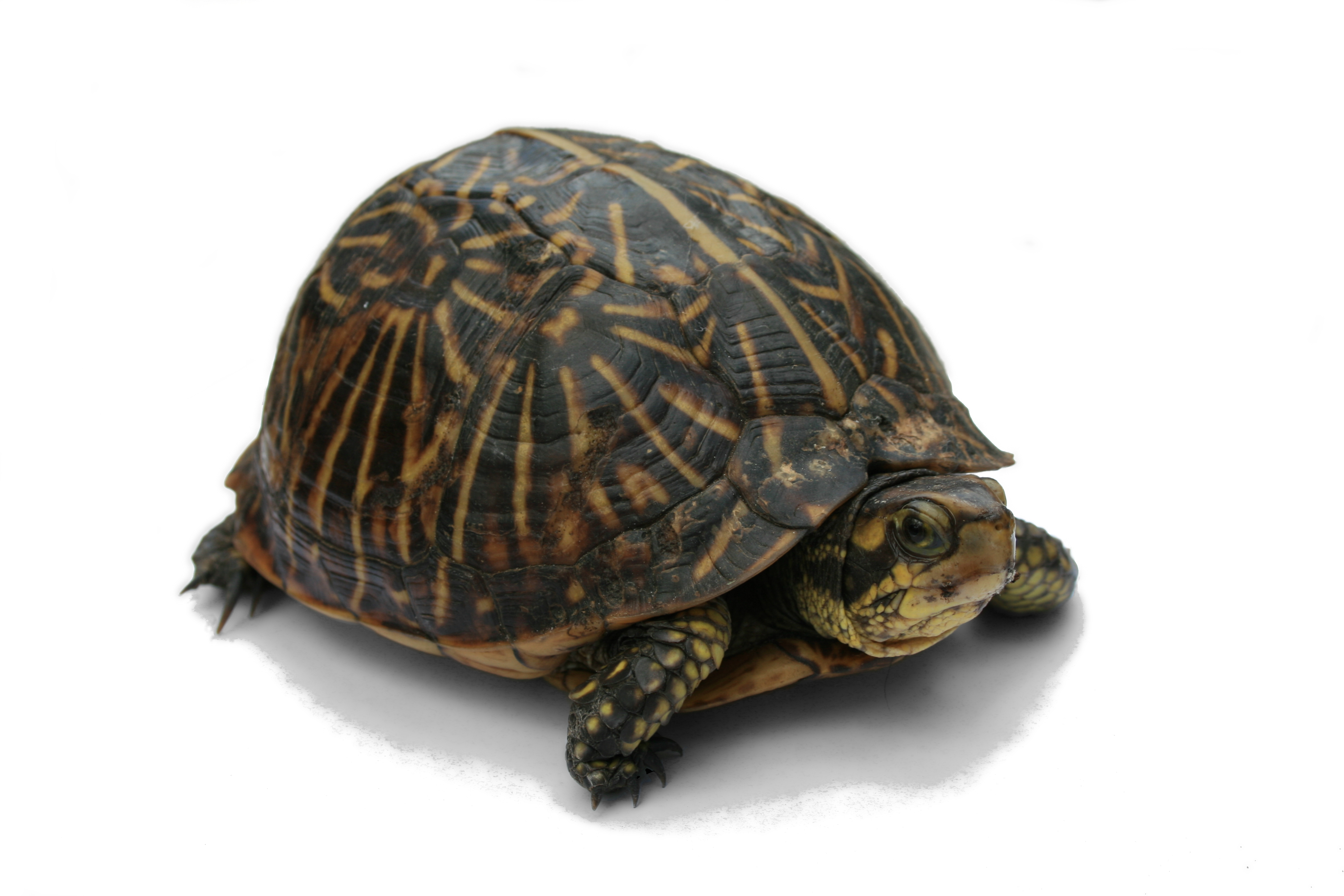 how to make a turtle come out of its shell - photo#17